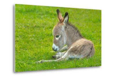 Domestic Donkey (Equus Asinus Asinus), Foal Rests in a Meadow, Germany, North Rhine-Westphalia