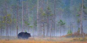 European Brown Bear, Baer in a Finnish Highmoor in Autumn with Ground Fog, Finland by Blickwinkel/Zoller