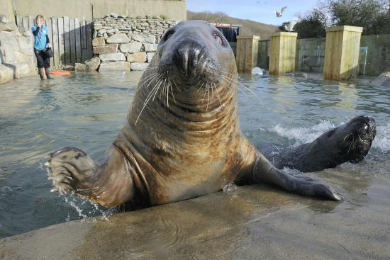 Blind Adult Male Grey Seal (Halichoerus Grypus) 'Marlin' Waving a Flipper-Nick Upton-Photographic Print