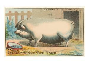 Bloated Pig