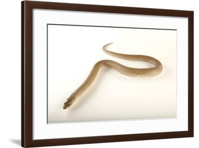 Blonde Hognose Snake, Leioheterodon Modestus, at the Omaha Zoo-Joel Sartore-Framed Photographic Print
