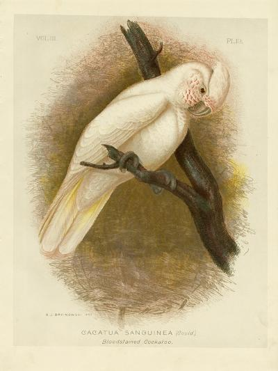 Blood-Stained Cockatoo, 1891-Gracius Broinowski-Giclee Print