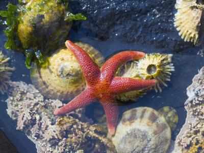 Blood Star, with Limpets and Barnacles Exposed at Low Tide, Tongue Point, Washington, USA-Georgette Douwma-Photographic Print