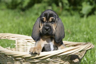Bloodhound 15-Bob Langrish-Photographic Print