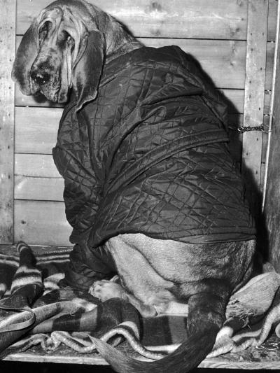 Bloodhound 1969-Birmingham Post Mail Archive-Photographic Print