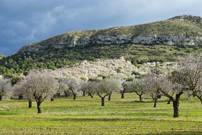 https://imgc.artprintimages.com/img/print/blooming-almond-trees_u-l-pzs5rs0.jpg?artPerspective=n