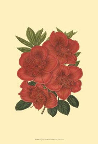 Blooming Azalea IV--Art Print