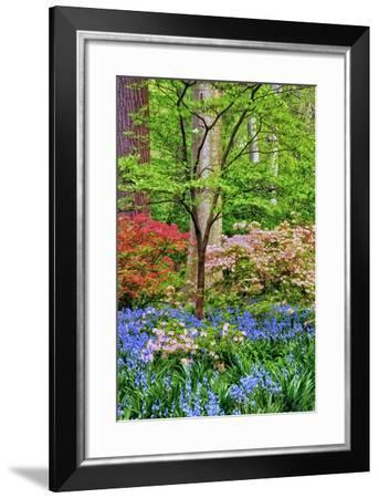 Blooming Azaleas and Bluebell Flowers, Winterthur Gardens, Delaware, USA--Framed Photographic Print