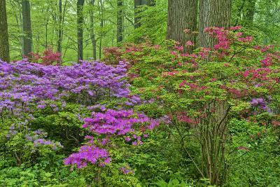 Blooming Azaleas in Forest, Winterthur Gardens, Delaware, USA--Photographic Print