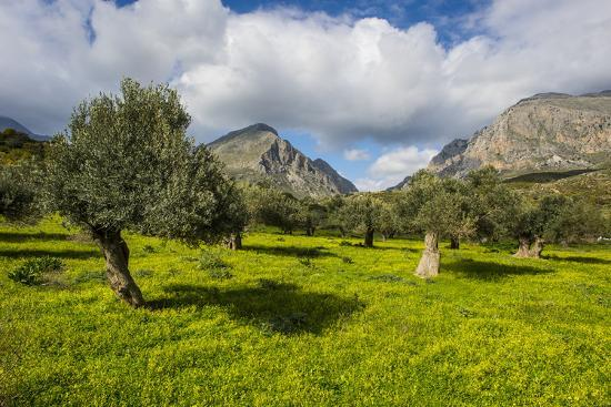Blooming Field with Olive Trees, Crete, Greek Islands, Greece, Europe-Michael Runkel-Photographic Print