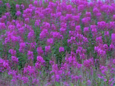 Blooming Fireweed-Michael Melford-Photographic Print