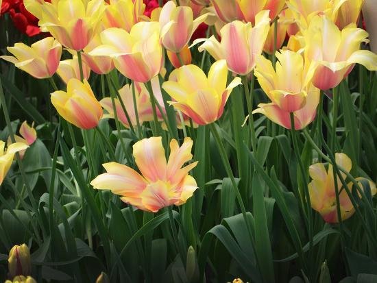 Blooming Peach and Yellow Colored Tulips-Anna Miller-Photographic Print