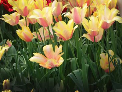 https://imgc.artprintimages.com/img/print/blooming-peach-and-yellow-colored-tulips_u-l-q12yu0b0.jpg?p=0