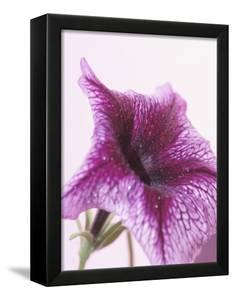 Blooming Purple Petunia