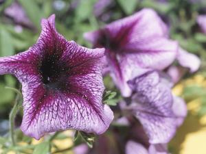 Blooming Purple Petunias