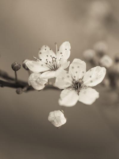 Blossom Duet-Assaf Frank-Giclee Print