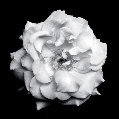 Blossom of a White Garden Rose on Black Background-Alaya Gadeh-Photographic Print