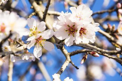 Blossoming Almond Blossoms with Blue Sky, Close-Up, Spring, Santa Maria Del Cami, Majorca-P. Kaczynski-Photographic Print