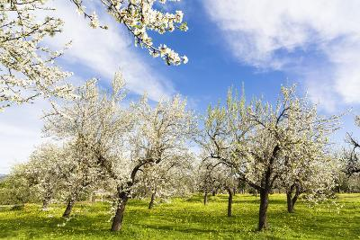 Blossoming Almond Trees on a Flower Meadow with Blue Sky, Surface Level, Santa Maria Del Cami-P. Kaczynski-Photographic Print