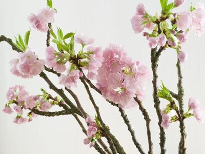 https://imgc.artprintimages.com/img/print/blossoming-cherry-branches_u-l-q11yufn0.jpg?p=0