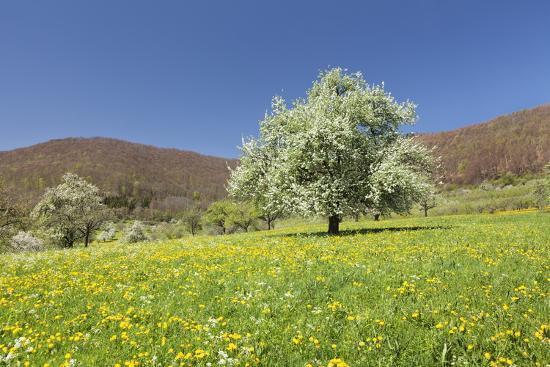 Blossoming Cherry Tree-Markus Lange-Photographic Print