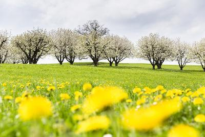 Blossoming Cherry Trees on a Meadow Full of Dandelion (Taraxacum Officinale), Spring, Basel Country-P. Kaczynski-Photographic Print