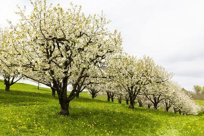Blossoming Cherry Trees on a Meadow, Spring, Winersingen, Basel Country, Switzerland, Alps-P. Kaczynski-Photographic Print