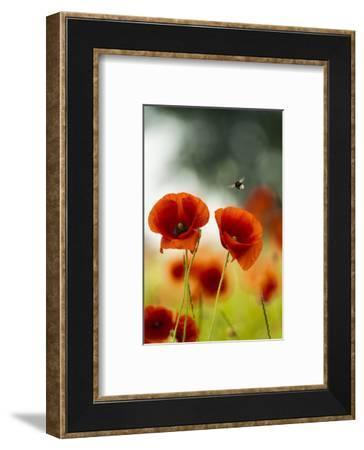 Blossoming corn poppy, close-up, Papaver rhoeas-Gerhard Tegeler-Framed Photographic Print