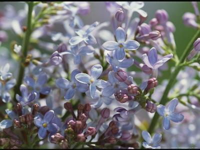 Blossoming Hyacinthiflora Lilacs-Darlyne A^ Murawski-Photographic Print