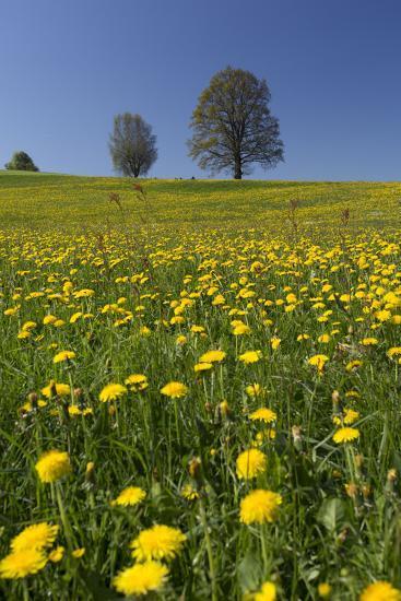 Blossoming Meadow, Spring, Tree, Blue Sky, Dandelion-Jurgen Ulmer-Photographic Print