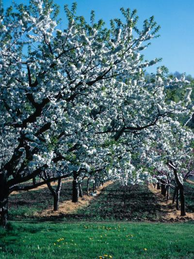 Blossoming Orchard--Photographic Print