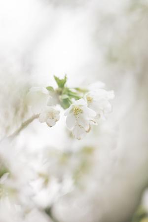 https://imgc.artprintimages.com/img/print/blossoming-ornamental-cherry-tree-in-the-spring_u-l-q1exqrk0.jpg?p=0