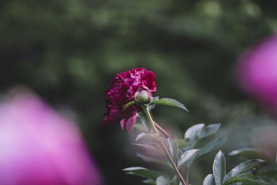 Blossoming peonies in the garden in June,-Nadja Jacke-Photographic Print