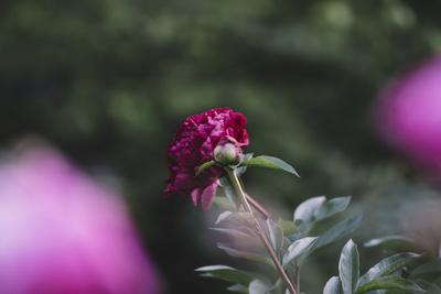 https://imgc.artprintimages.com/img/print/blossoming-peonies-in-the-garden-in-june_u-l-q1ezdsx0.jpg?p=0
