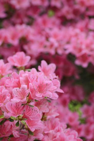 Blossoming Rhododendron, Rhododendron Norbitonense Aureum, Medium Close-Up-Andreas Keil-Photographic Print