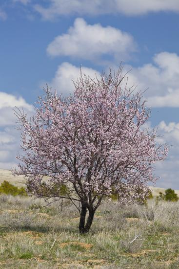 Blossoming Tree Close Konya, Anatolia, Turkey-Rainer Mirau-Photographic Print