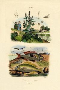 Blotched Picarels, 1833-39