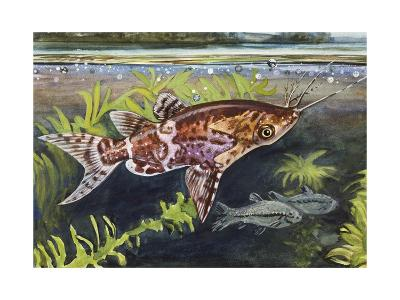 Blotched Upside-Down Catfish (Synodontis Nigriventris), Mochokidae--Giclee Print