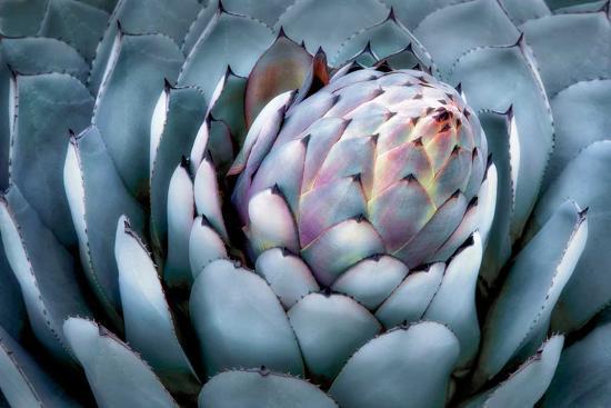 Blue Aloe-Dennis Frates-Art Print