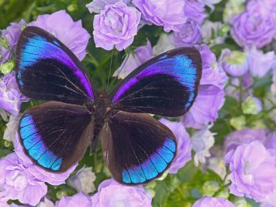 https://imgc.artprintimages.com/img/print/blue-and-black-butterfly-on-lavender-flowers-sammamish-washington-usa_u-l-pxpqlv0.jpg?p=0