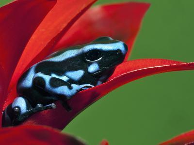 Blue and Black Poison Dart Frog, Panama Blue-Adam Jones-Photographic Print