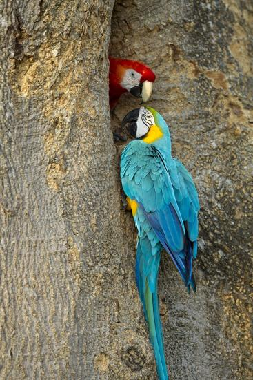 Blue and Gold Macaw with Scarlet Macaw, Costa Rica--Photographic Print