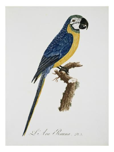 Blue and Gold Macaw-Jacques Barraband-Giclee Print