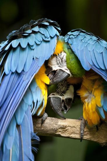 Blue-And-Gold Macaws at Zoo Ave Park-Paul Souders-Photographic Print