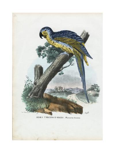 Blue-And-Yellow Macaw, 1863-79-Raimundo Petraroja-Giclee Print