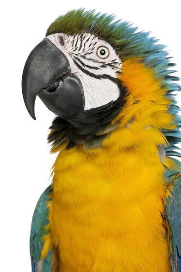 Blue and Yellow Macaw, Ara Ararauna-Life on White-Photographic Print