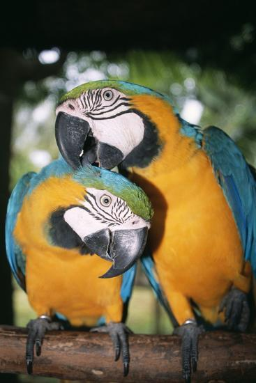 Blue and Yellow Macaws-Andrey Zvoznikov-Photographic Print