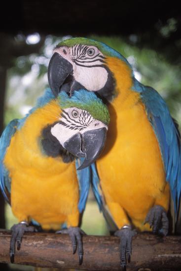 Blue and Yellow Macaws-Andrey Zvoznikov-Photographic Print
