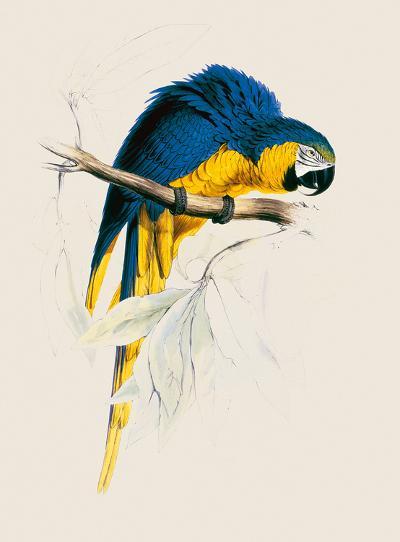 Blue and Yellow Maccaw-Edward Lear-Premium Giclee Print