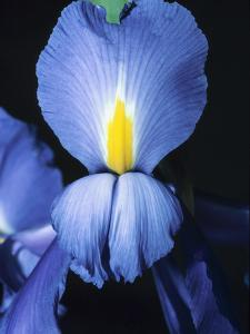 Blue and Yellow Violet with Green Leaves